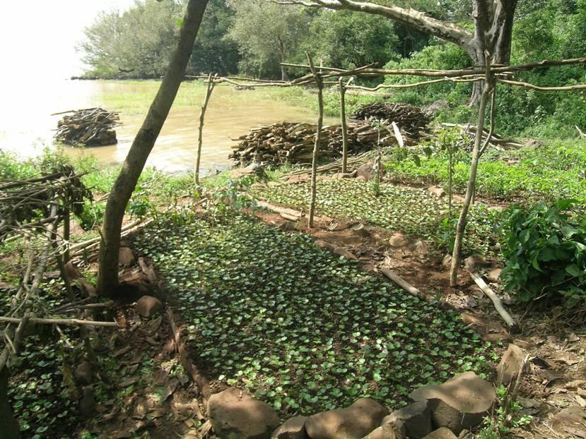 Kahve tarımında sıcaklık ve yağış çok önemlidir. Tohumdan ya da çeltikle üretilen kahve bitkisi dikimden 3-4 yıl sonra meyve vermeye başlar. Etiyopya'da Tana Gölü üzerindeki adalarda manastırlar var. Hıristiyan Amhara halkı ada kıyılarında kahve yetiştiriyor. Fotoğrafta kahve fidelerini görüyoruz.