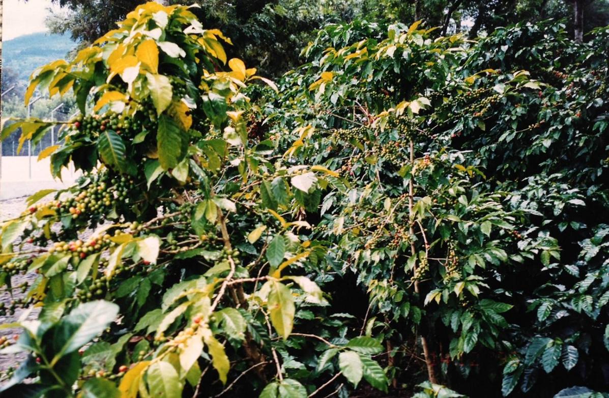 Kahve, kışın yaprağını dökmeyen küçük bir ağaç. Yaprakları sivri uçlu, yaprak kenarları dalgalıdır. Çiçekleriyse beyaz, yaprakların koltuklarında küme halindedir. Meyvesi, düzgün yüzeyleri birbirine değen iki tohum içerir ve kırmızıdır. Tohumları, içerdiği kafeinden dolayı uyarıcıdır. Kahve bitkisi, yabani olarak 8-10 metreye kadar büyüyebilir. Güney Hindistan, Periyar'da ziyaret ettiğimiz Spice Village Thekkady'de kahve bitkisi.