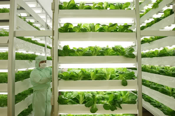 """Ekilecek ve ürün alınacak toprakları oldukça az olan Japonya, topraksız tarımda dünyanın önde gelen ülkeleri arasında yer alıyor. Topraksız tarımı ileri götürerek """"bitki fabrikaları"""" oluşturan Japonlar, yılda 20 kez hasat yapabiliyorlar. Japonya'da topraksız tarımla """"ultra-steril sebzeler"""" yetiştiriliyor. Bu yöntemle yetiştirilen sebzeler, yıkamaya gerek kalmadan koparılıp yenebiliyor. Çalışanların dışarıyla hiçbir teması olmuyor ve ortam da oldukça steril...Işık, ısı, nem ve hatta su miktarına kadar bütün şartlar bilgisayarla kontrol altında tutuluyor. www.topraksizkultur.com"""