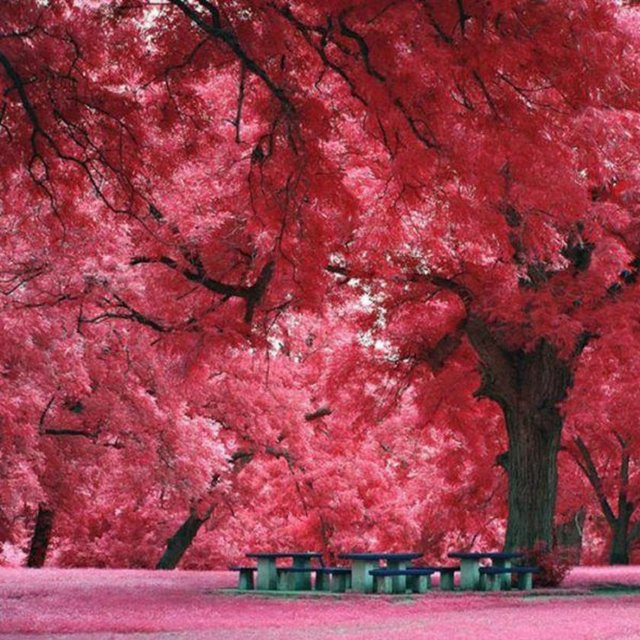 Japon akçaağaçları, Teksas, ABD.