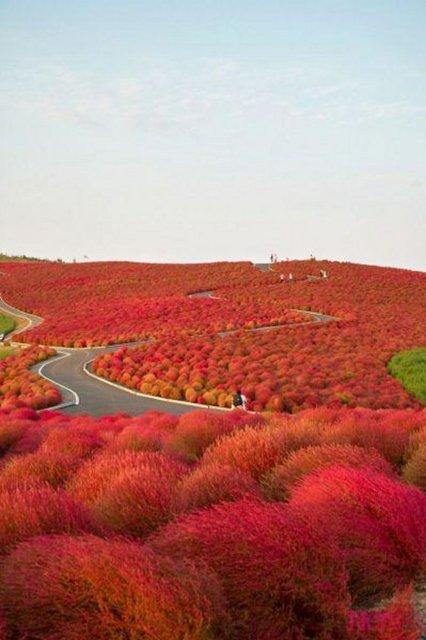 Kochia Tepesi, Japonya.