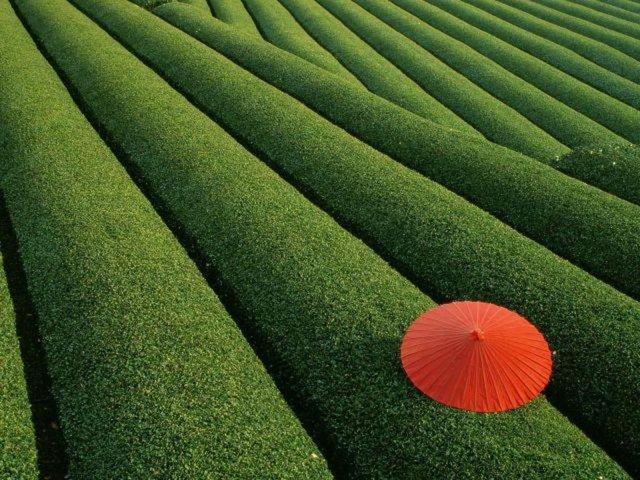 Çay tarlası, Japonya.
