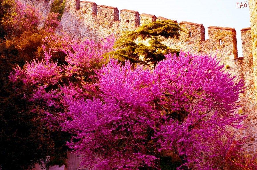 Erguvan şehrin simgesi. Şehrin simgesi olmasının nedeni, Bizans'ın imparatorluk rengi olmasından kaynaklanıyor. Yunanca pofira erguvan rengi anlamına gelir. Bu renk giysiler hanedana aitti. İmparatorlar kendilerine erguvan kanlı derlerdi. İmparatorlar erguvan renkli odalarda doğarlardı: Porphyrogenitos. Sadece Mısır'da bulunan, porfir denen, kırmızımsı mora çalan rengi olan mermer Aya Sofya gibi önemli mabetlerde, saraylarda ve imparator lahitlerinde kullanılırdı. Bir efsaneye göre, erguvan ağacı önceleri beyaz çiçek açarken, İsa'ya ihanet eden Yahuda pişman olup kendini bir erguvan ağacına astıktan sonra erguvan utancından bu renk çiçek verir olmuş. Fotoğraf:www.fotokritik.com