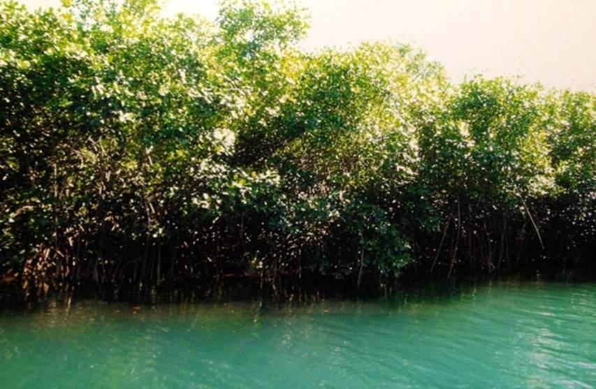 Tropikal bölgelerde, deniz kenarlarında, acı ve tuzlu su kıyılarında, sık uzun ve kavisli topraküstü kökleriyle dip çamuruna tutunan bitkilerin meydana getirdiği mangrov ormanları antik ağaçlardan oluşur. Mangrovların flora durumu, Atlas Okyanusu, Büyük Okyanus ve Hint Okyanusları'ndan hangisinin kıyısında yer alıyorsa ona göre değişir. Fakat bitkilerin genel manzarası her yerde aynıdır. Çeşitli mangrov ağaçlarının kabuğunda, kırmızı veya gri, dericilik işinde kullanılabilecek kadar tanen bulunur. Costa Rica'da henüz yok edilmemiş mangrov ormanları ve su üstünde kalan köklerin yakından görünüşü.
