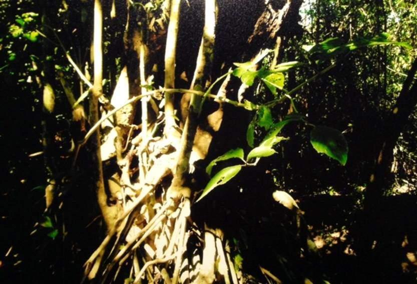 Mangrovların su yüzeyi üstündeki karmaşık kökleri ve hava almayı sağlayan özel gözenekleri, propagül (köksap) adı verilen puro biçimli uzun fideleri var. Propagüller cezir zamanı düşerlerse ana kaynağın yanında büyüyorlar, tuzlu bataklığa yayılıyorlar. Ama med zamanı kaynaktan uzağa sürükleniyor, sonra uygun bir ortamda olgunlaşıyorlar. İngilizler 1770 yılında Kalküta'nın güneyinde, bu suyla dolu ormanı açmış, oraya bir banliyö kurmuşlardı. Oysa mangrov ormanı anakaraya paralel bariyer oluşturuyor, kökleriyle kıyıyı sabitliyordu.
