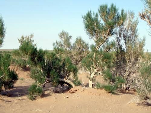 Saksaul bitkisi. Fotoğraf: forum.zoologist.ru
