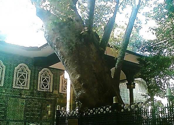 Eyüp Sultan'ın bahçesindeki asırlık çınar. Fotoğraf:www.geziresim.com