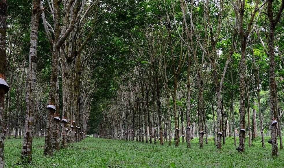 Doğal kauçuk elde edilen ağaç: Hevea brasiliensis. Fotoğraf: www.panoramio.com
