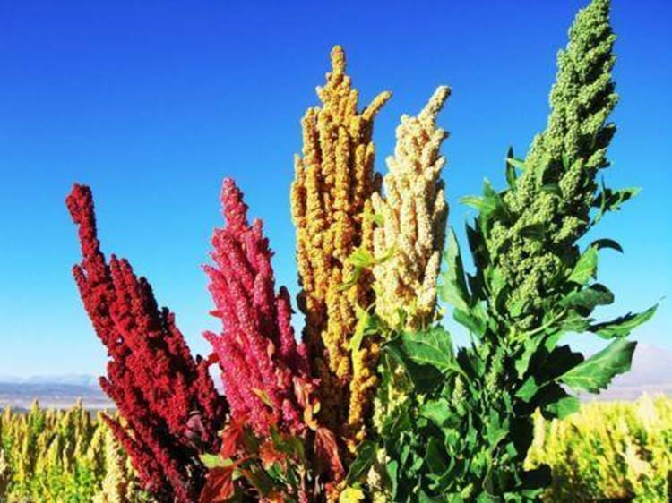 Kinoa çiçekleri. Fotoğraf: caribbeangardenseed.com